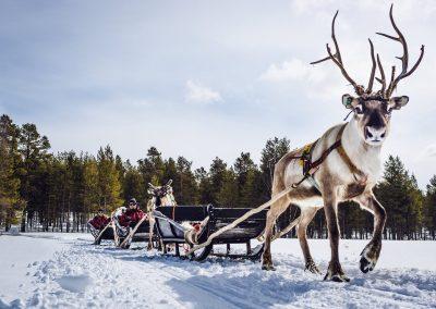Harriniva Hotels Safaris Reindeer