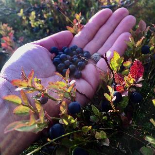 Blueberries HunteroftheNorth by LauraHokajarvi