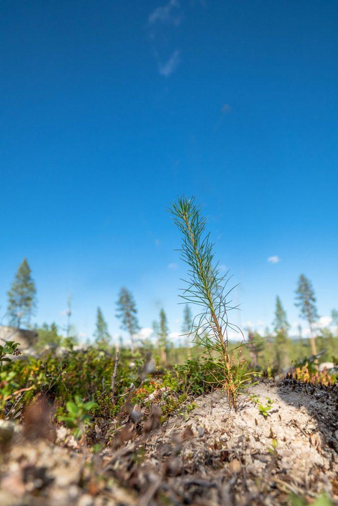 Torassieppi plant a tree