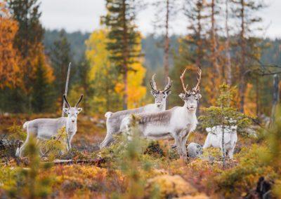 Finland Lapland Pallas Yllästunturi autumn reindeers highres byJuliaKivela Visit Finland