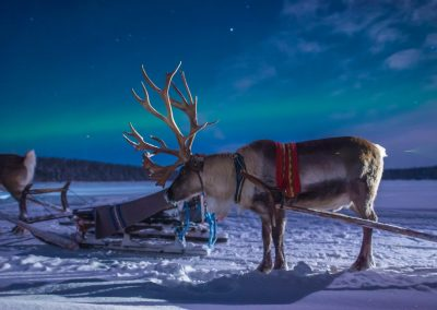 Harriniva Hotels Safaris Reindeer